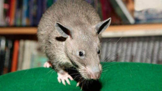 Черная и белая крыса