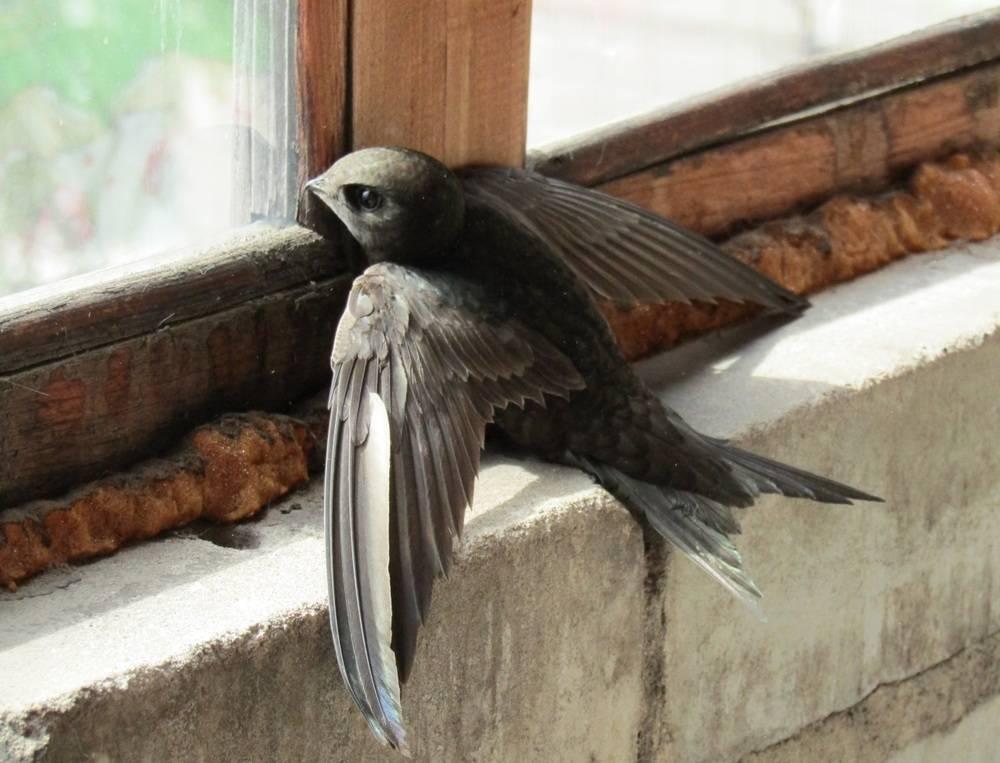 Стриж залетел в окно или на балкон: значение приметы