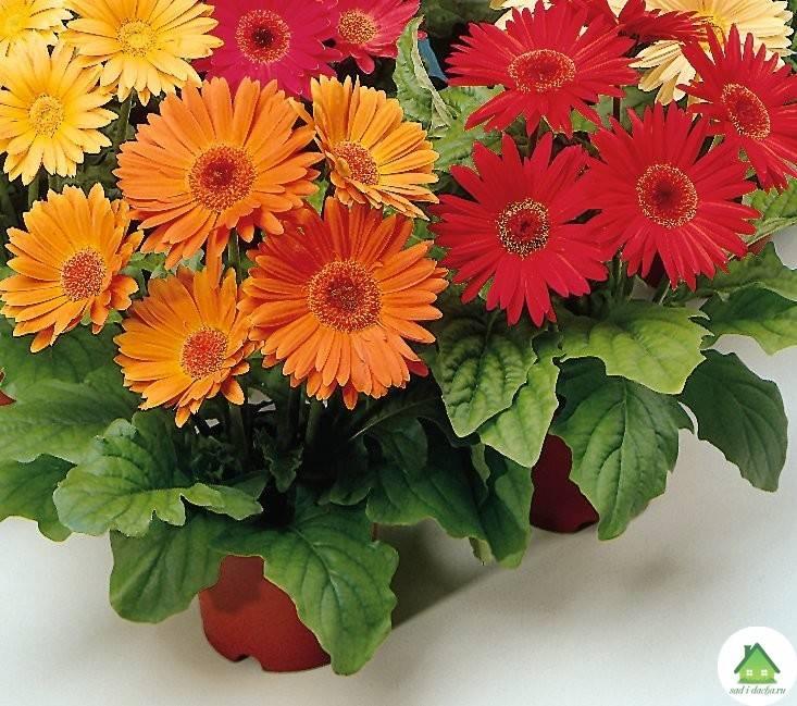 Герберы - выращивание и уход за герберой в домашних условиях