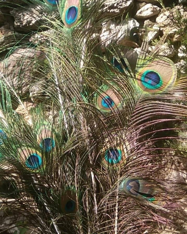 Павлин по фен шуй: символ, значение, где ставить, перья павлина