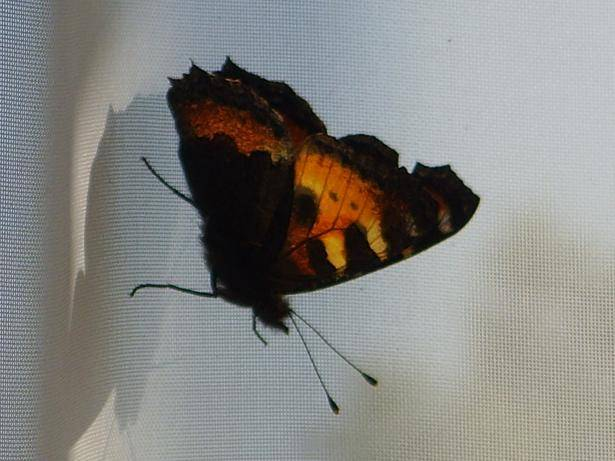 Белая бабочка приметы. бабочка залетела в квартиру: что это значит? другие приметы о бабочках