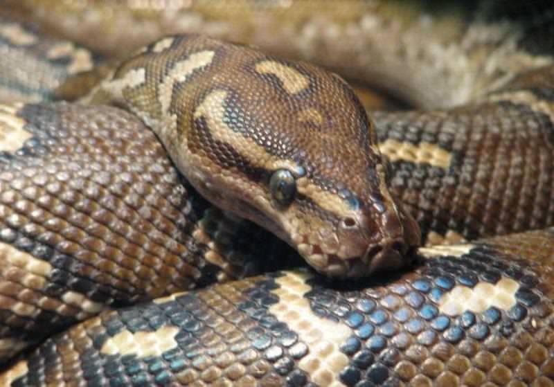 К чему снится питон ???? - толкования по 35 сонникам ????: что означает видеть во сне огромную желтую или белую змею или удава для женщины и мужчины