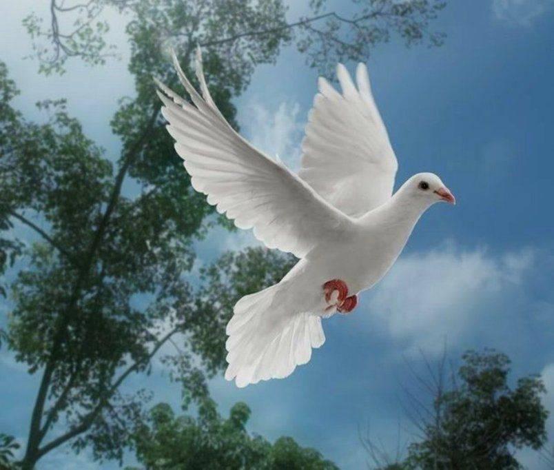 Белый голубь: к чему снится, много белых голубей