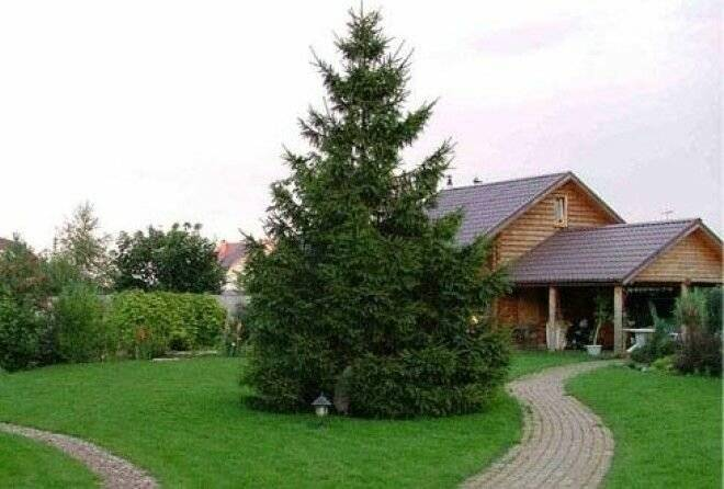 Почему нельзя сажать елку во дворе дома: приметы о хвойных деревьях на участке