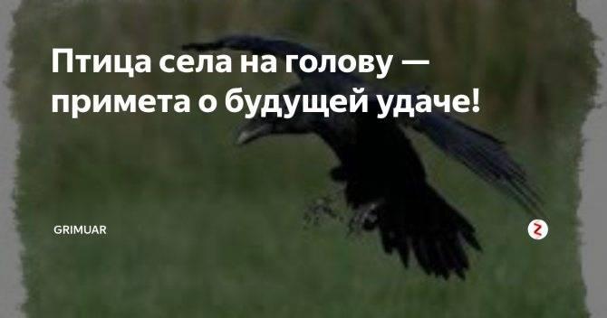 Птица села на голову — примета к будущей удаче