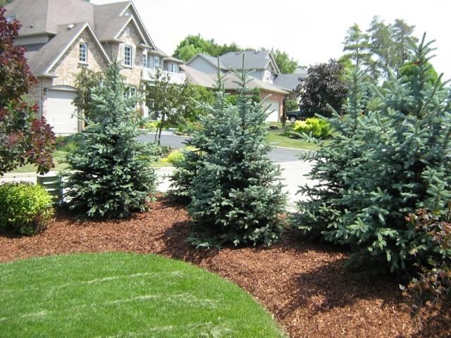 Колючие страшилки: почему нельзя сажать ёлки на участке - огород, сад, балкон - медиаплатформа миртесен