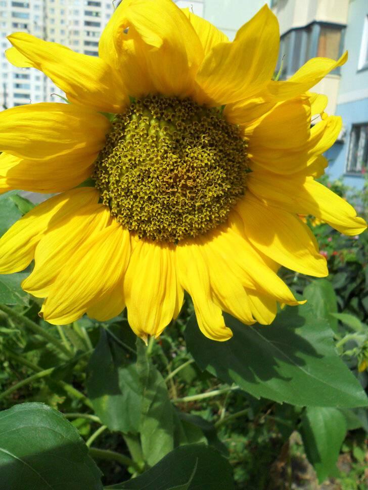 Сонник цветы подсолнухи. к чему снится цветы подсолнухи видеть во сне - сонник дома солнца