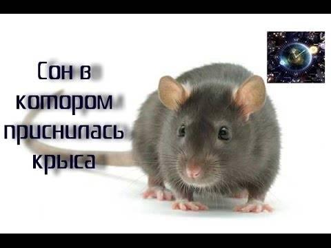 Сонник много белых крыс. к чему снится много белых крыс видеть во сне - сонник дома солнца