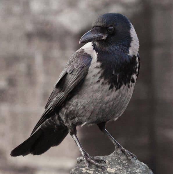 ᐉ приметы, если ворона села на голову или задела ее - taro1.ru