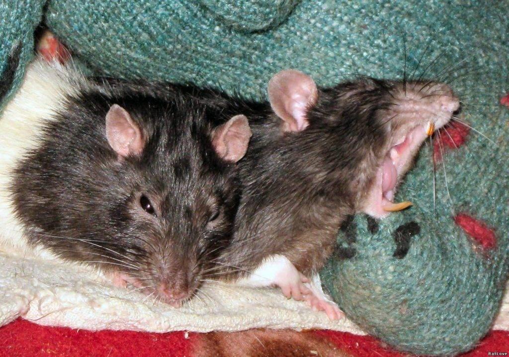 Сонник чёрная крыса с длинным хвостом. к чему снится чёрная крыса с длинным хвостом видеть во сне - сонник дома солнца