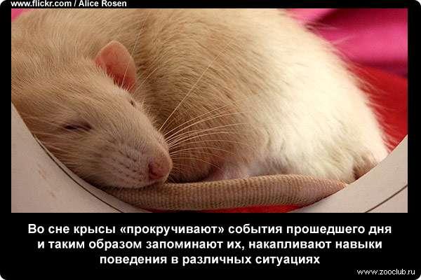 Сонник черная и белая крыса. к чему снится черная и белая крыса видеть во сне - сонник дома солнца