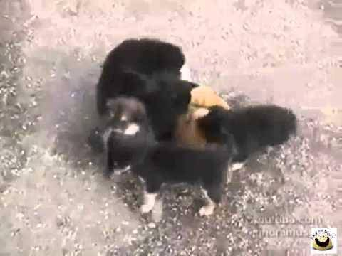 Сонник нападающие собаки. к чему снится нападающие собаки видеть во сне - сонник дома солнца