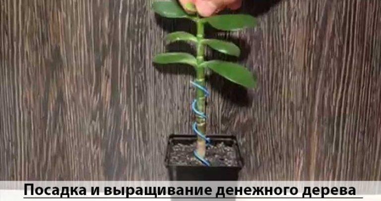 Денежное дерево — живой талисман, привлекающий богатство