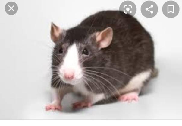 Сонник крыса черно белая