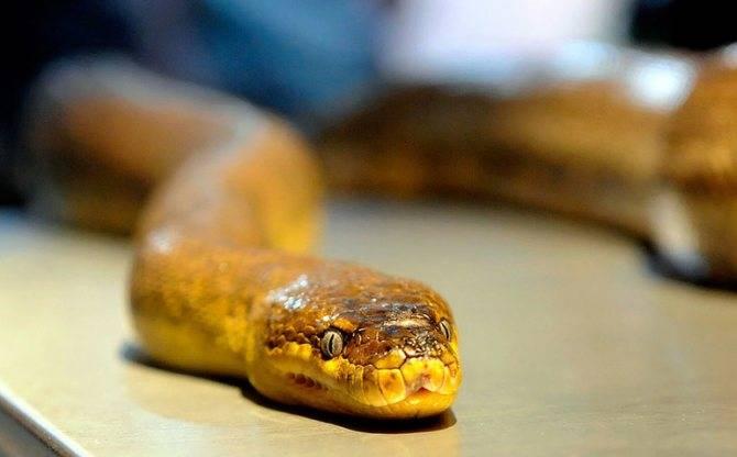 Почему приснилась змея и как толковать такой сон