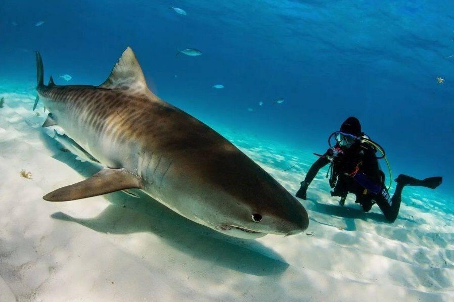 К чему снится акула женщине