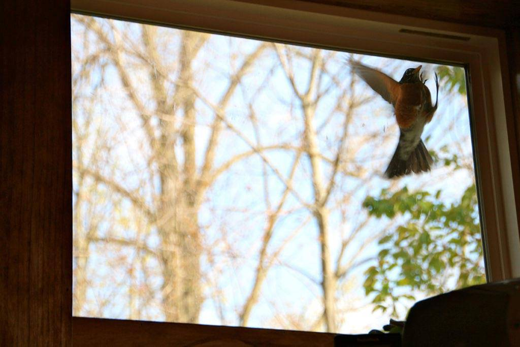 К вам в дом залетела птица? смотрите приметы…