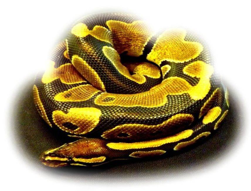 Питон змея