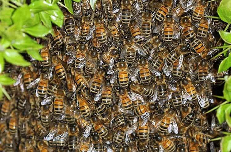 К чему снятся осы: много ос, укус осы во сне.