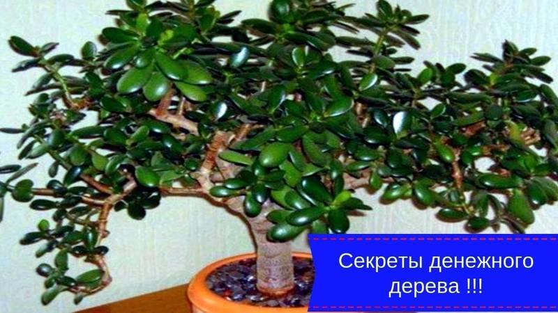 Денежное дерево: уход, приметы и суеверия   делаем своими руками
