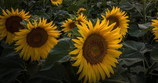 Сонник срезать подсолнухи цветы. к чему снится срезать подсолнухи цветы видеть во сне - сонник дома солнца