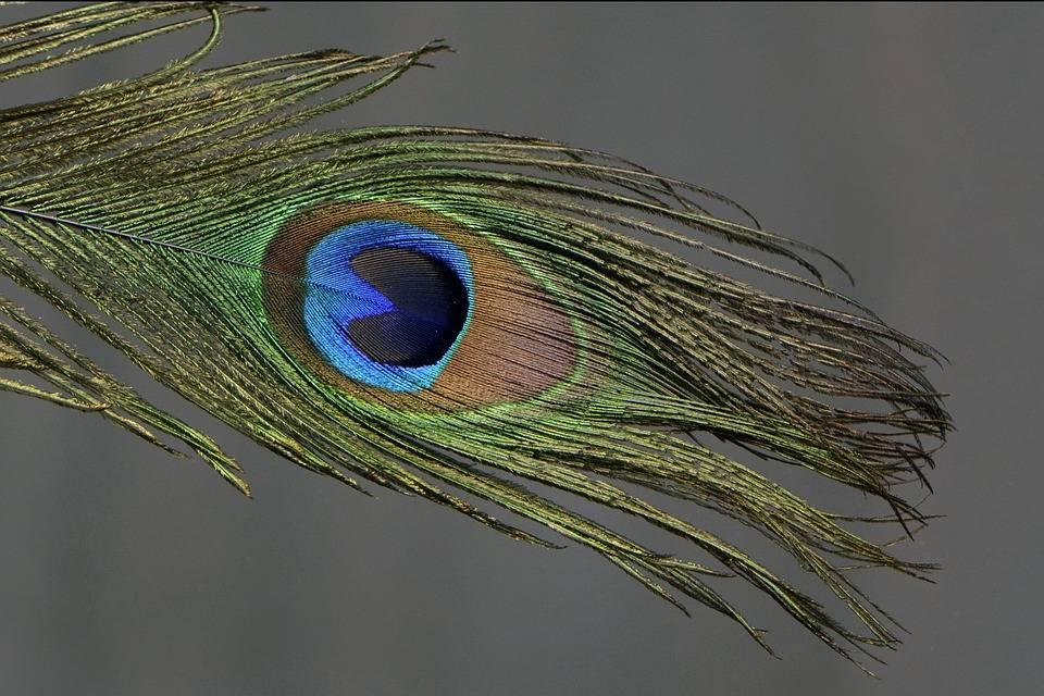 Примета: можно ли держать перья павлина в доме