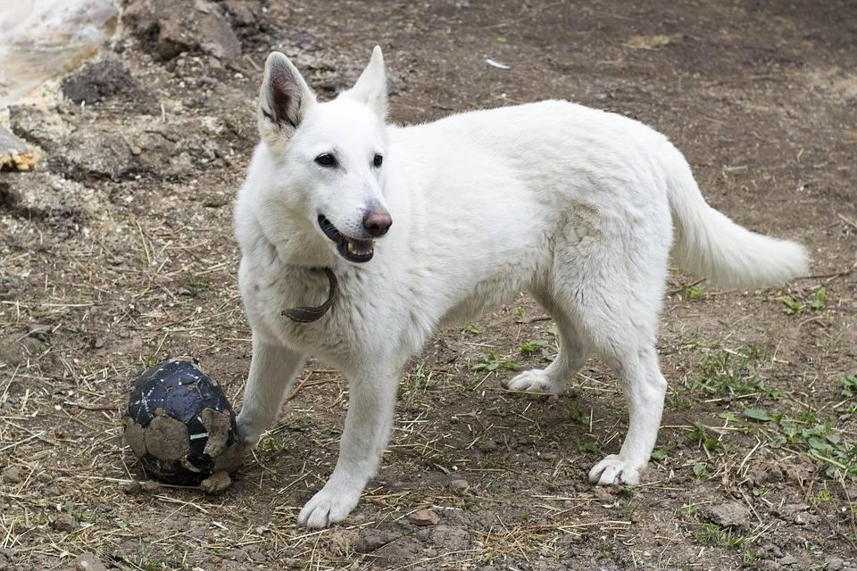 К чему снится большая собака: белая, чёрная, пятнистая, бешеная? основные толкования — к чему снится большая собака