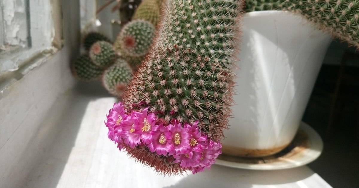 К чему цветет кактус в доме или в офисе? самые важные приметы, связанные с этим растением