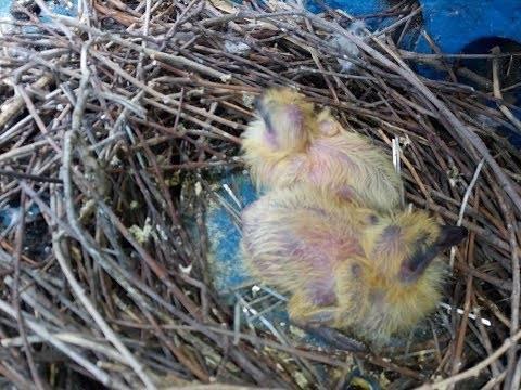 Народная примета, если голубь залетел на балкон