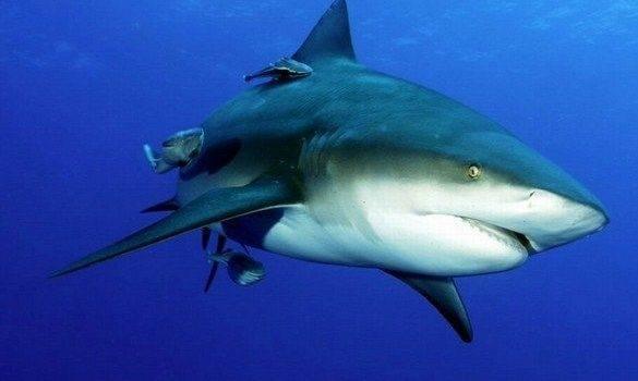 Кчему снятся акулы? приснилась акула: толкование посонникам