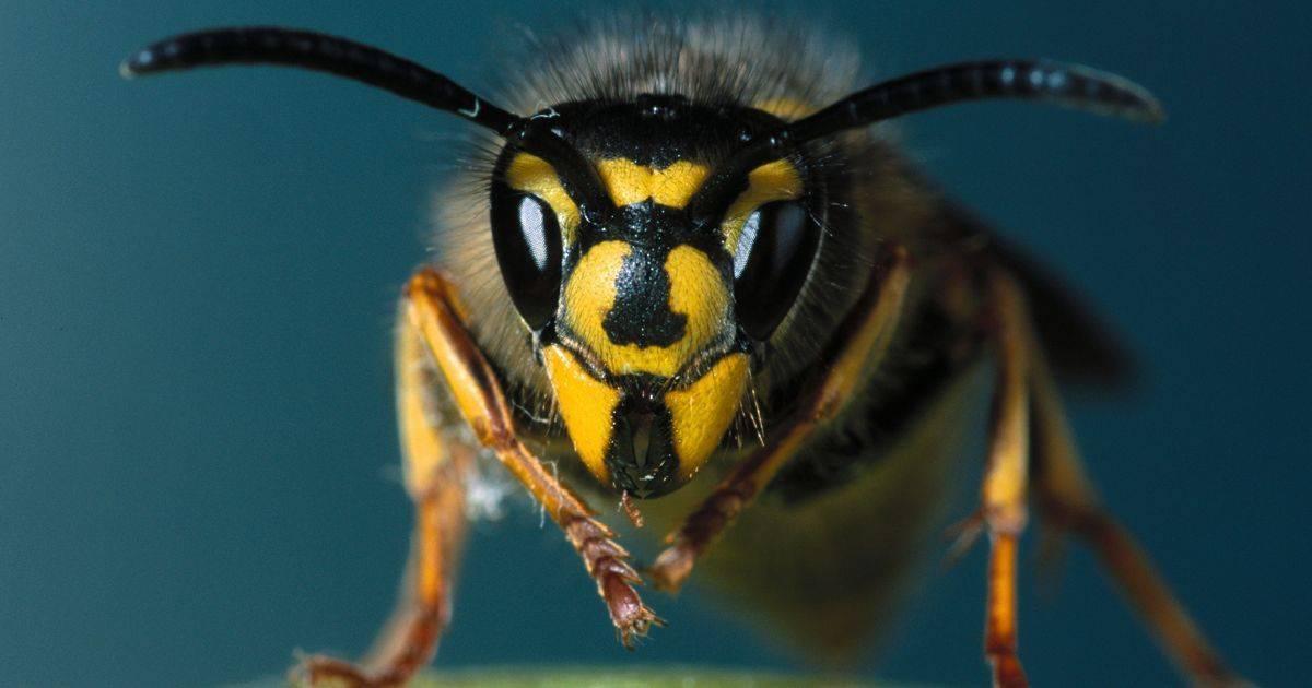 К чему снятся осы — 43 верных значения сна