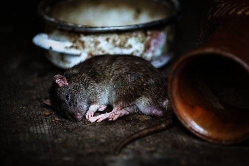 Видеть живую крысу во сне или убить: что означает много крыс в доме, толкование снов сонниками