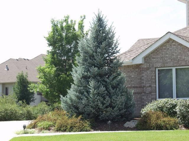 Можно ли сажать елки на участке приметы? | астросоветник