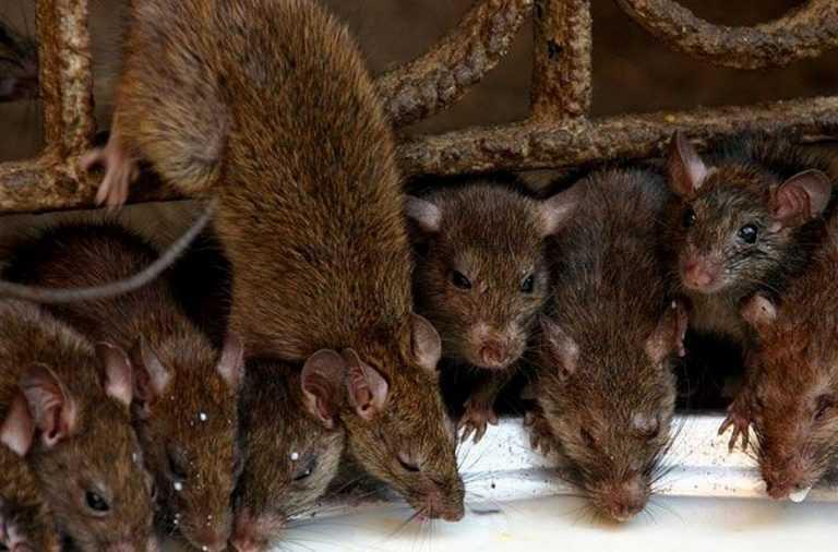 Ловить белую крысу