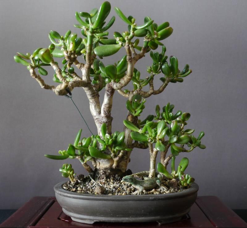 Как рассадить денежное дерево в домашних условиях? грунт и горшок для денежного дерева