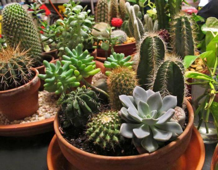 Кактусы — можно ли держать дома, приметы, связанные с состоянием растения