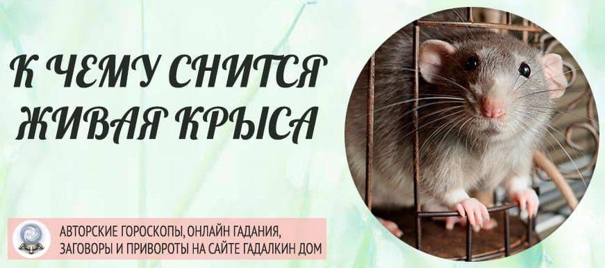 Сонник крыса чёрная с белыми пятнами. к чему снится крыса чёрная с белыми пятнами видеть во сне - сонник дома солнца