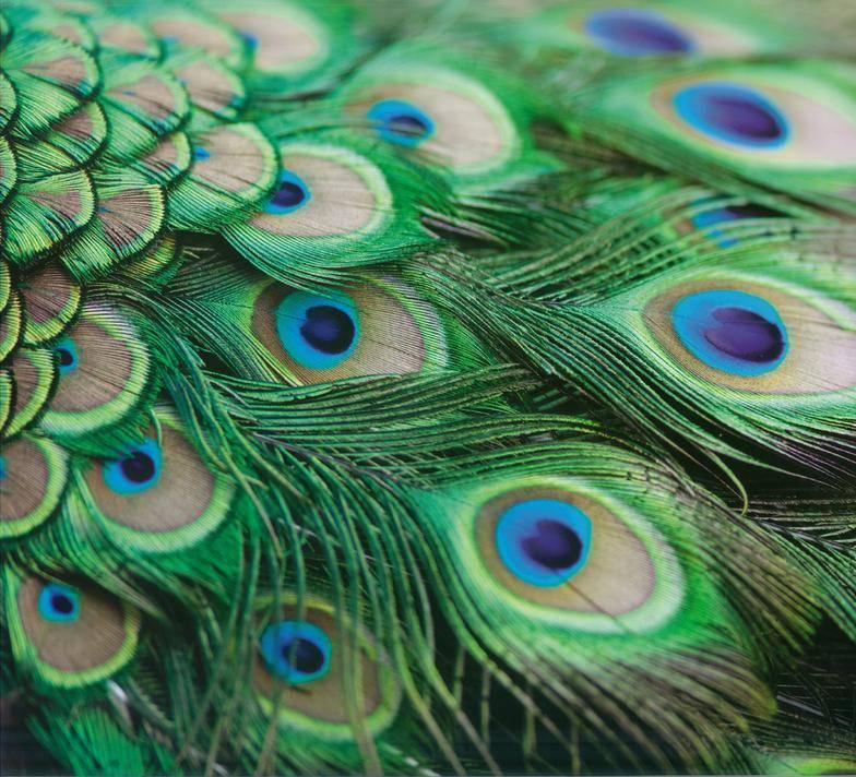 Народные приметы о перьях павлина в доме