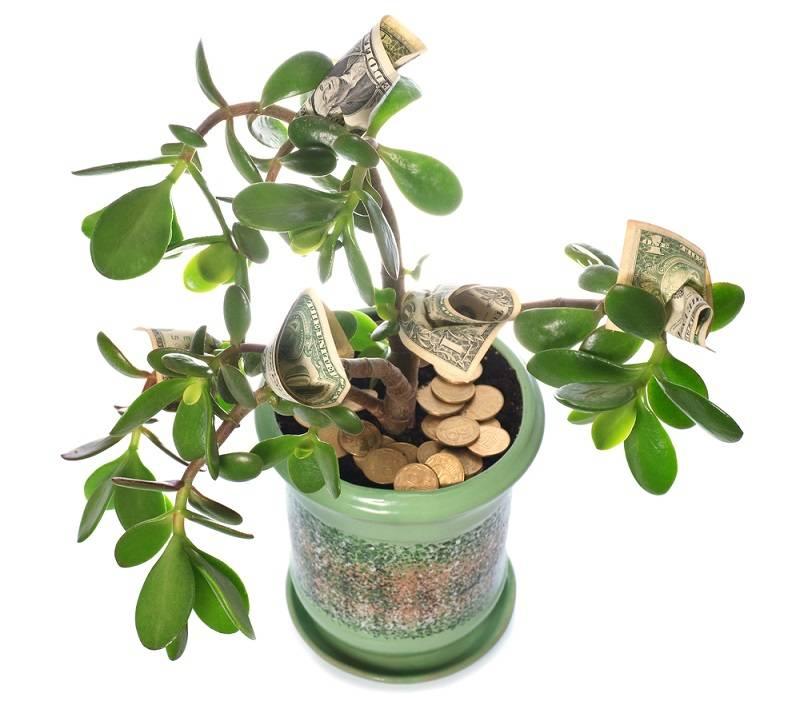 С денежным деревом нужно быть осторожным: какой вред оно может нанести