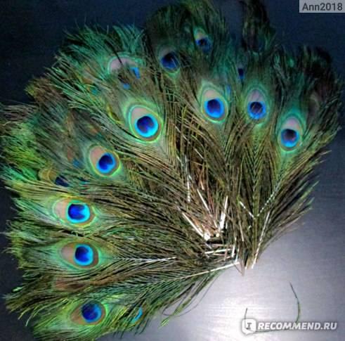 Можно или нельзя держать павлиньи перья дома