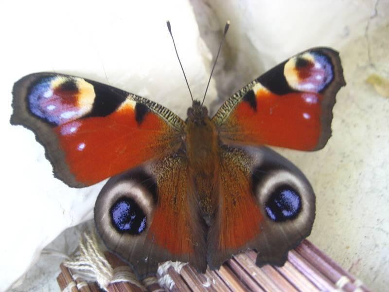 Бабочка залетела в дом или квартиру: приметы и суеверия