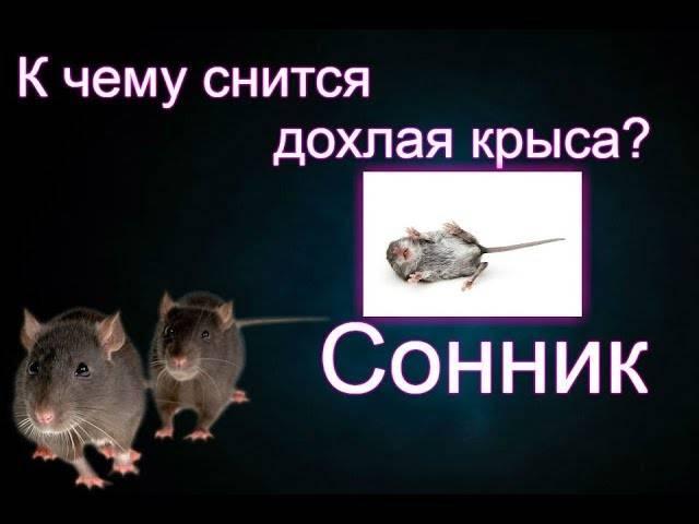 К чему снится белая крыса или много белых крыс? основные толкования: к чему снится белая крыса и разные ситуации с её участием - автор екатерина данилова - журнал женское мнение