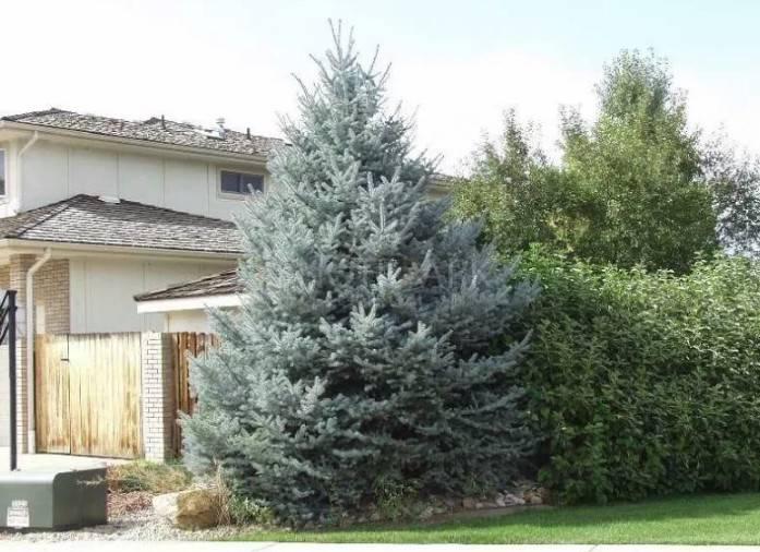 Почему нельзя сажать ель и другие хвойные деревья возле дома?