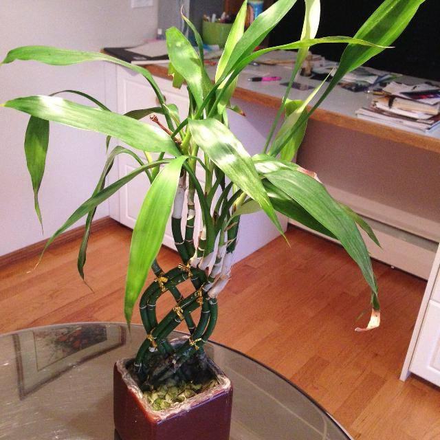 Драцена: приметы и суеверия, можно ли держать дома, к чему цветет