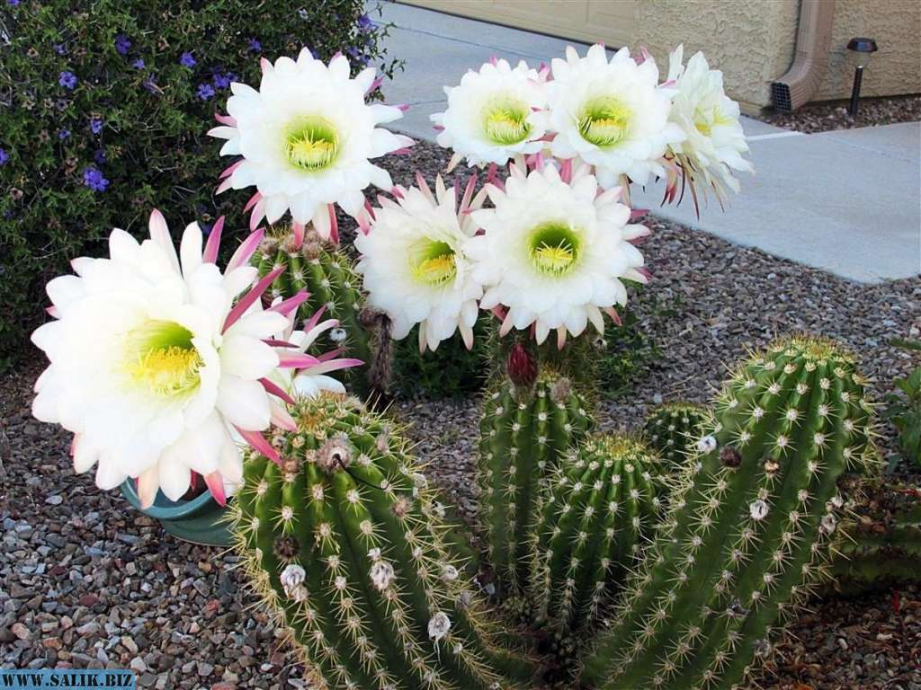 Колючий цветок — кактус: можно ли держать дома и что он символизирует? народные приметы