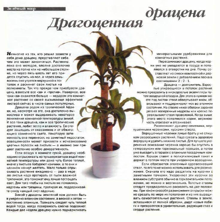 Драцена - приметы и суеверия: мнение науки о цветке, значение по фен-шуй, легенды о происхождении, можно ли ставить в жилом помещении?