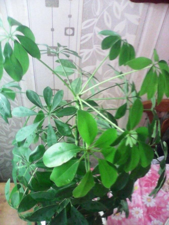 Шефлера в доме: приметы и свойства растения