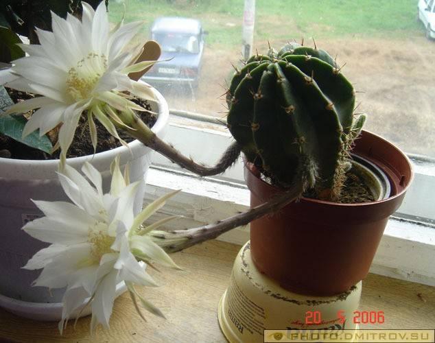 Зацвел кактус в доме: народные приметы и их значение
