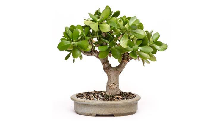 Как правильно посадить денежное дерево чтобы водились деньги