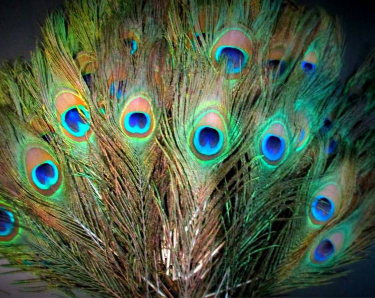 Павлинье перо в доме что означает. что делать с пером павлина
